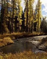 Cottonwood trees along Annie Creek Canyon Trail, Crater Lake National Park, Oregon, USA Fine Art Print