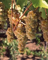 Chardonnay Grapes, California by Panoramic Images - various sizes