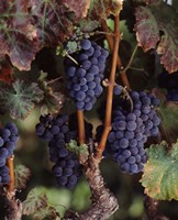 Purple Grapes, Wine Country, California Fine Art Print