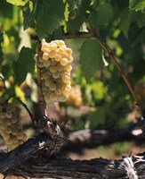 Chardonnay Grapes in Vineyard, Carneros Region, California Fine Art Print