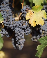 Cabernet Sauvignon Grapes, Wine Country, California Fine Art Print