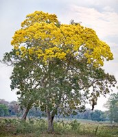 Trees in a field, Three Brothers River, Meeting of the Waters State Park, Pantanal Wetlands, Brazil by Panoramic Images - various sizes - $59.99