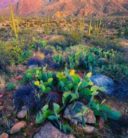 Prickly pear and saguaro cacti, Santa Catalina Mountains, Oro Valley, Arizona, USA Fine Art Print