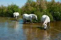 Three Camargue white horses in a lagoon,  Camargue, Saintes-Maries-De-La-Mer, Provence-Alpes-Cote d'Azur, France Fine Art Print