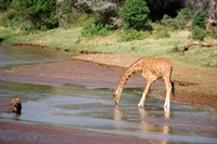Reticulated giraffe drinking water at a river, Samburu National Park, Rift Valley Province, Kenya by Panoramic Images - various sizes, FulcrumGallery.com brand