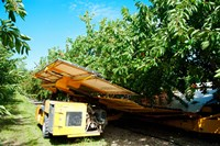 Mechanical Harvester dislodging Cherries into large plastic tub, Provence-Alpes-Cote d'Azur, France by Panoramic Images - various sizes