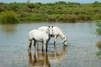 Two Camargue White Horses in a Lagoon, Camargue, Saintes-Maries-De-La-Mer, Provence-Alpes-Cote d'Azur, France (horizontal) Fine Art Print