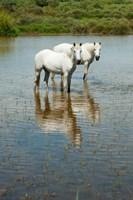 Two Camargue White Horses in a Lagoon, Camargue, Saintes-Maries-De-La-Mer, Provence-Alpes-Cote d'Azur, France (vertical) Fine Art Print