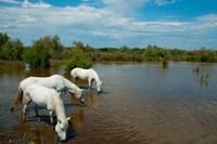Three white Camargue horses in a lagoon, Camargue, Saintes-Maries-De-La-Mer, Provence-Alpes-Cote d'Azur, France Fine Art Print