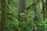 Redwood trees and Rhododendron flowers in a forest, Jedediah Smith Redwoods State Park, Crescent City, California Fine Art Print