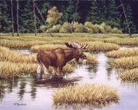 Lone Bull Fine Art Print