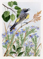Myrtle Warbler and Asters by Maureen Mccarthy - various sizes
