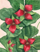 Purple Trillium by Maureen Mccarthy - various sizes
