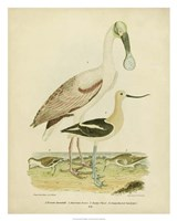 Antique Spoonbill & Sandpipers Fine Art Print