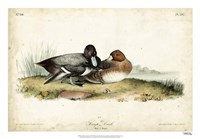 "Audubon Ducks IV by John James Audubon - 26"" x 18"""