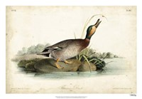 "Audubon Ducks V by John James Audubon - 26"" x 18"""