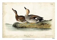 "Audubon Ducks VI by John James Audubon - 26"" x 18"""