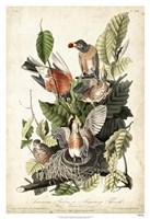 "Audubon's American Robin by John James Audubon - 26"" x 38"""