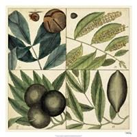 "Catesby Leaf Quadrant IV by Marc Catesby - 26"" x 26"""