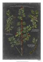 "Vintage Botanical Chart VIII by Vision Studio - 18"" x 26"""