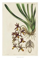 Spring Orchid V Fine Art Print