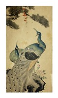 Korean Peacocks Framed Print