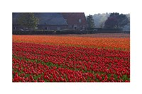 Dutch Red Tulip Field - various sizes