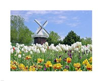 Tulip Fields with Windmill