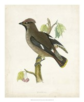 "Waxwing by Tom Morris - 18"" x 22"""