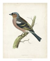"Chaffinch by Tom Morris - 18"" x 22"""