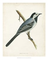 "White Wagtail by Tom Morris - 18"" x 22"""