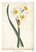 Curtis Narcissus III Fine Art Print