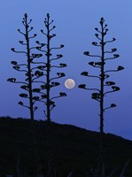 The moon rising between agave trees, Miramar, Argentina Fine Art Print