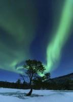 Aurora Borealis Over a Tree Troms, Norway Fine Art Print