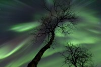Northern Lights with trees in the arctic wilderness, Nordland, Norway Fine Art Print