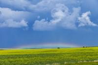 A low altitude rainbow visible over the yellow canola field, Gleichen, Alberta, Canada Fine Art Print