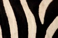 Close-up of Zebra Stripes, Masai Mara, Kenya Fine Art Print