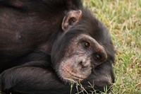 Common Chimpanzee, Sweetwater Conservancy, Kenya Fine Art Print