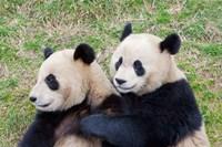 Giant Panda, China Fine Art Print