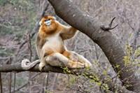 Golden Monkey, Qinling Mountains, China Fine Art Print