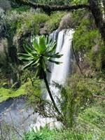 Giant Lobelia in Aberdare National Park, Kenya Fine Art Print