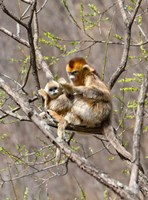 Female Golden Monkey on a tree, Qinling Mountains, China Fine Art Print