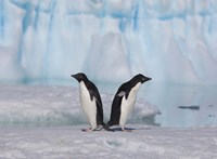 Two Adelie Penguins, Antartica Fine Art Print