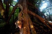 Giant leaf-tailed gecko (Uroplatus fimbriatus), Nosy Mangabe Reserve, Madagascar Fine Art Print