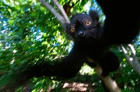 Black Lemurs, Northern Madagascar Fine Art Print