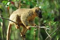 Common Brown Lemur on branch, Ile Aux Lemuriens, Andasibe, Madagascar. Fine Art Print
