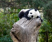 Giant Panda, Wolong Reserve, China Fine Art Print
