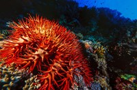 Crown-of-Thorns Starfish at Daedalus Reef, Red Sea, Egypt by Ali Kabas - various sizes, FulcrumGallery.com brand