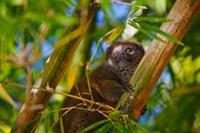Bamboo lemur in the bamboo forest, Madagascar Fine Art Print