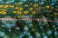Chameleon lizard, detail of skin, Madagascar Fine Art Print
